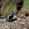 Black-throated Sparrow, Arizona
