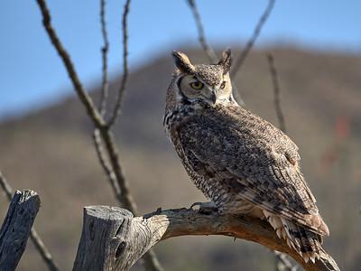 Great Horned Owl, Arizona