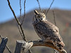 Great Horned Owl, Arizona