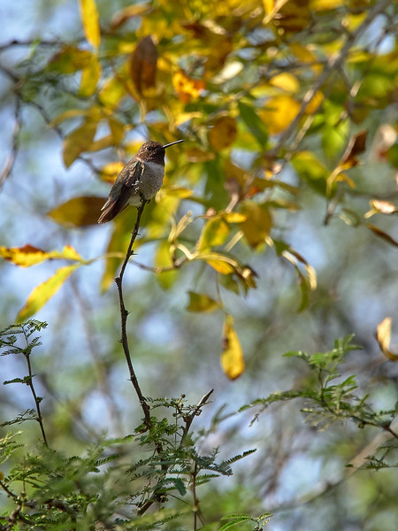 Blackchinned Hummingbird, Texas