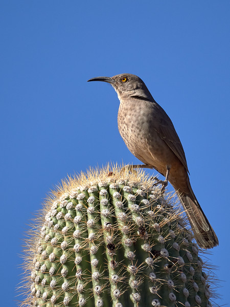 Curve-billed Thrasher, Arizona