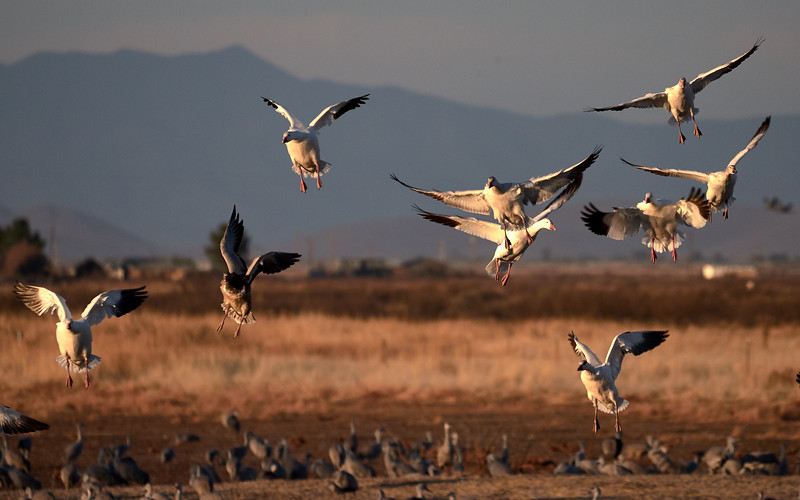 Snow Geese, Arizona