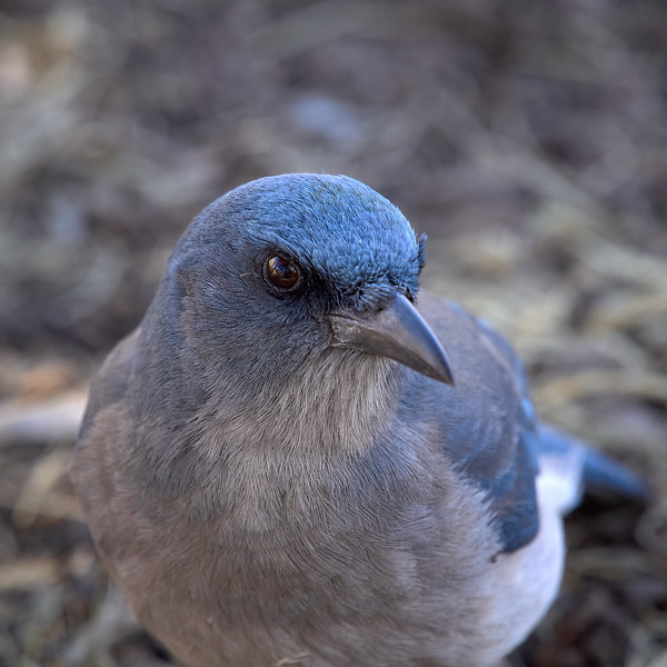 Mexican Jay, Arizona