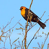 Yellow-headed Blackbird, Arizona
