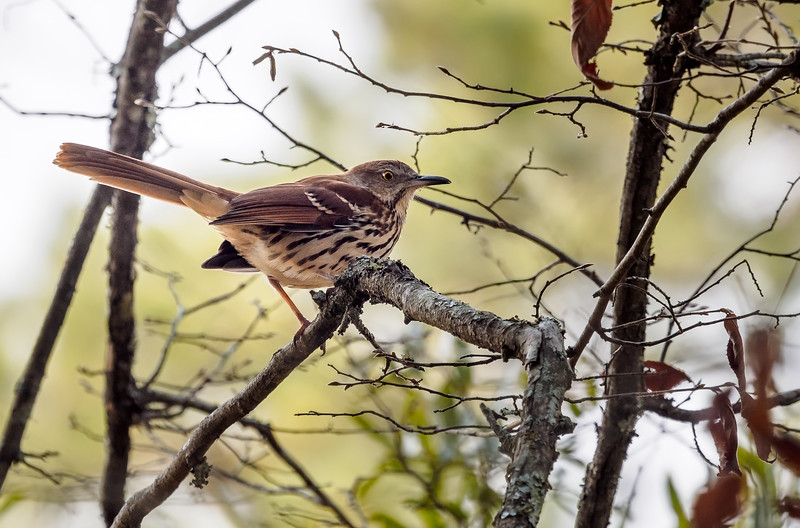 Swainsons Thrush, Texas