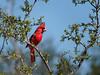 Cardinal, Male, Texas