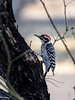 Ladderbacked Woodpecker, Texas