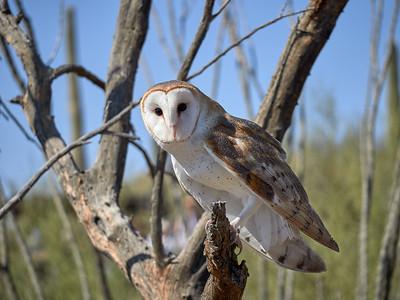 Barn Owl, Arizona