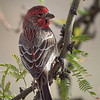 House Finch, Arizona