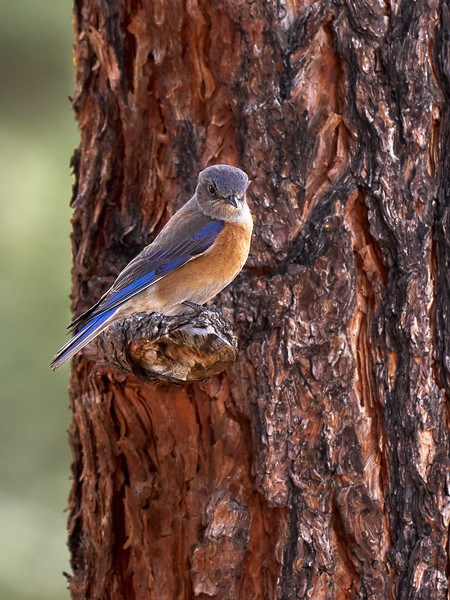 Western Blue Bird, New Mexico
