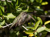 Anna's Hummingbird, Arizona