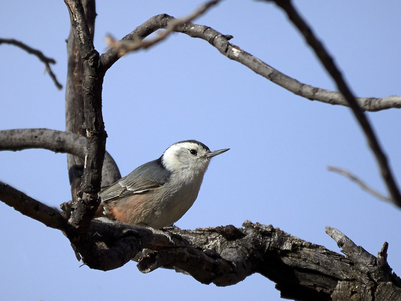 White-breasted Nuthatch, Arizona