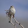 White-crowned Sparrow, Arizona