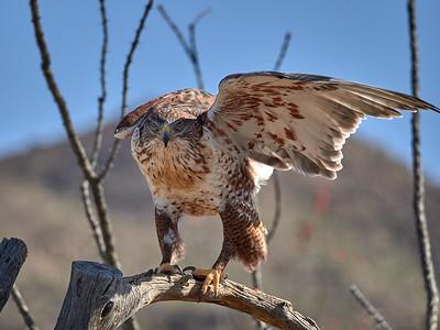 Ferruginus Hawk, Arizona