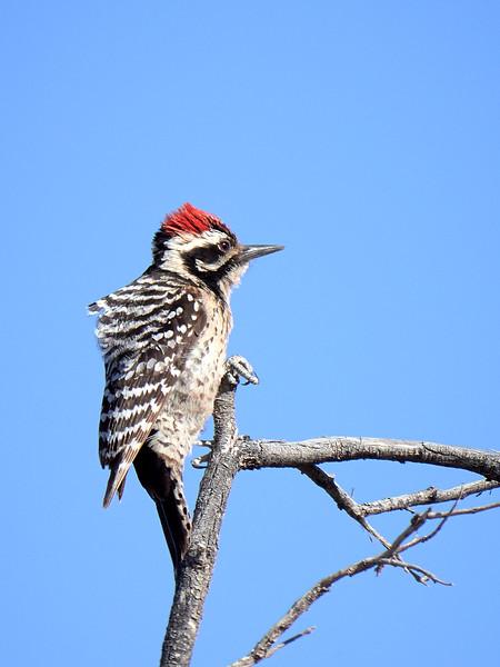 Ladderback Woodpecker, New Mexico