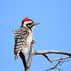 Ladderback Woodpecker, New Mexico