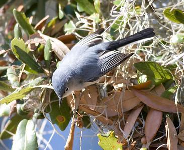 Blue-gray Gnatcatcher IMG_1370  rev 1