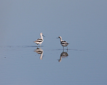 American Avocets IMG_1506 copy