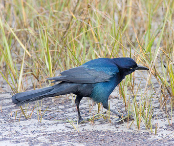 Boat-tailed Grackle IMG_1638  rev 1
