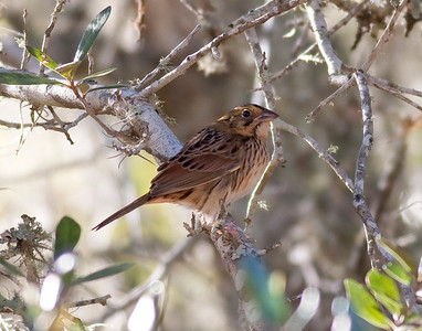 Henslow's Sparrow IMG_5331 rev 1