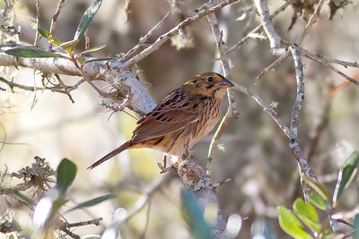 Henslow's Sparrow IMG_5332 rev 1
