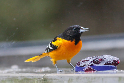 Baltimore Oriole IMG_5277 rev 1