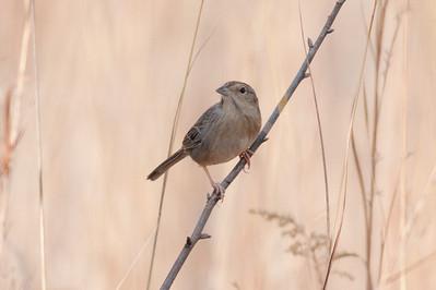 Bachman's Sparrow IMG_5145 rev 1