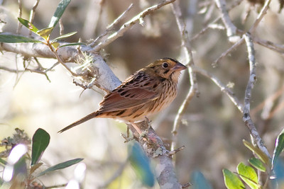 Henslow's Sparrow IMG_5324 rev 1