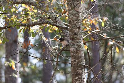Fox Squirrel at Botany Bay IMG_5152