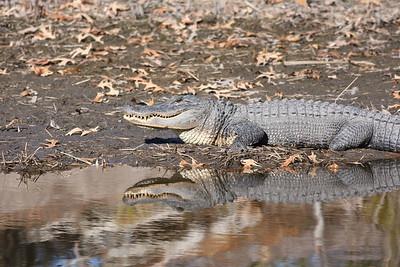 Donnelley Alligator IMG_5221