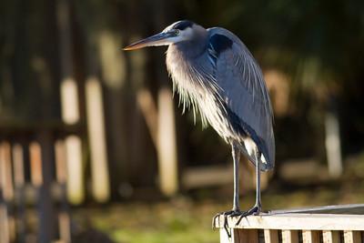 Blue Heron IMG_0099