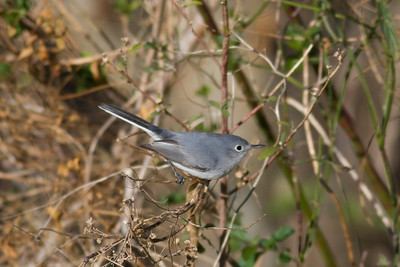 Blue-gray Gnatcatcher IMG_9992