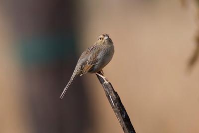 Bachman's Sparrow IMG_9885