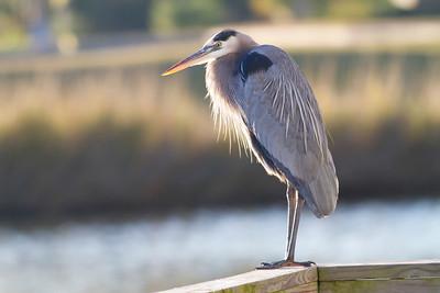 Blue Heron IMG_0094