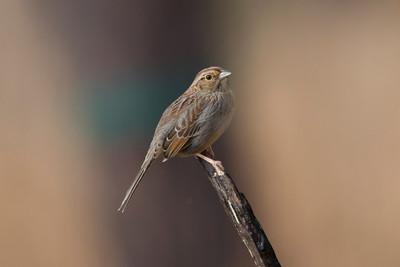Bachman's Sparrow IMG_9892