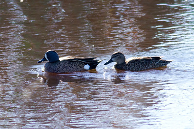 Blue-winged Teals IMG_9935