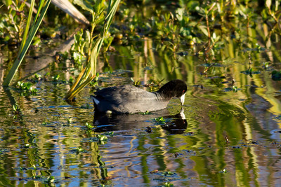 American Coot IMG_9906