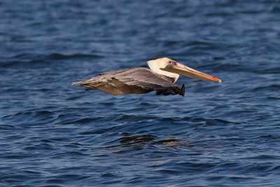 Brown Pelican IMG_0897