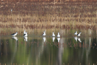 Black-necked Stilts IMG_0864