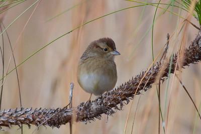 Bachman's Sparrow IMG_0806