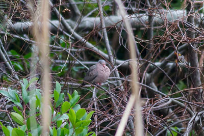 Common Ground Dove IMG_1011