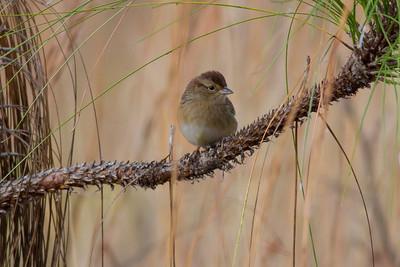 Bachman's Sparrow IMG_0800
