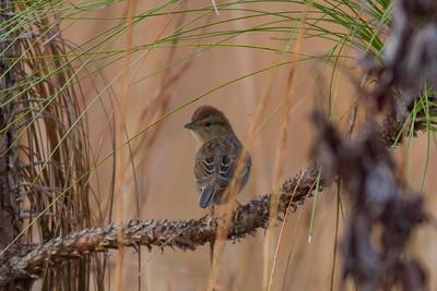 Bachman's Sparrow IMG_0795