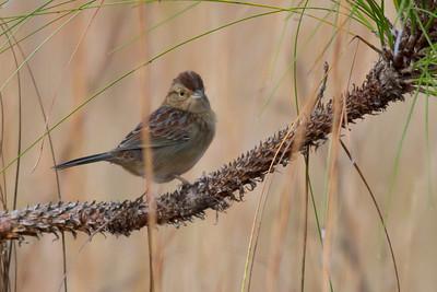 Bachman's Sparrow IMG_0813
