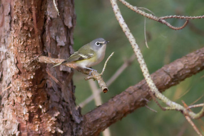 Blue-headed Vireo IMG_0977