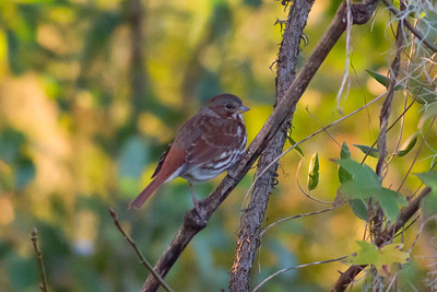 Fox Sparrow IMG_4197