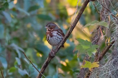Fox Sparrow IMG_4196