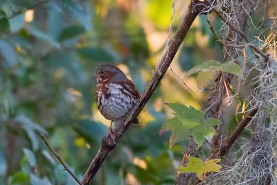 Fox Sparrow IMG_4195