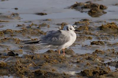 Bonaparte's Gull IMG_4359