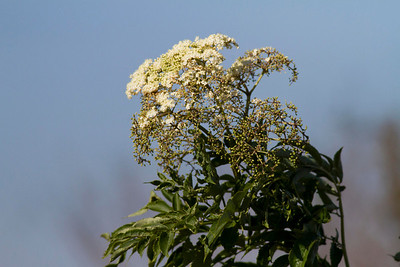 Elderberry Bloom SNWR IMG_4178